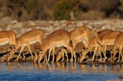 Почерните смотреть на табуна выпивая, nationalpark импалы etosha, Намибии Стоковые Фото