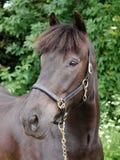 Почерните съемку головки лошади Стоковые Фото