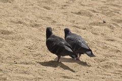 Почерните dove стоковые фотографии rf
