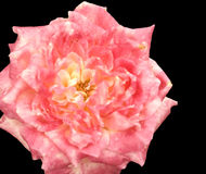 почерните variegated розу пинка цветения Стоковое Фото