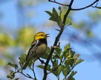 почерните warbler зеленый петь throated Стоковое Изображение