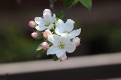 Почетность šBegonia ¼ 100 flowersï цветет Стоковое Изображение RF