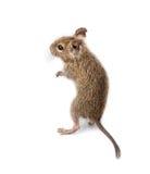 почистьте общюю замкнутую крысу щеткой octodon degus degu стоковая фотография