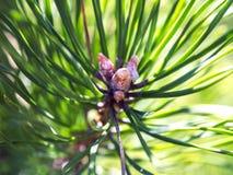 Почка сосны Крупный план хвойного дерева почки Стоковая Фотография RF