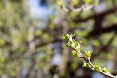 Почки на цветении ветви дерева против фона bea Стоковое Фото