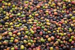 Почти высушенная ягода кофе Стоковое Фото