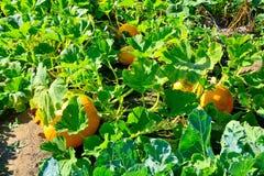 Почти зрелая тыква в деревенском саде Стоковое Изображение RF
