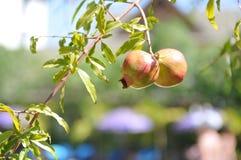 Почти зрелое гранатовое дерево Стоковое фото RF