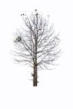 Почти мертвое дерево Стоковая Фотография