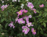 Почти одичалый розовый кустарник Стоковое Фото