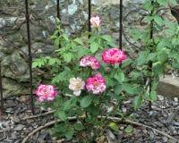Почти одичалый розовый кустарник Стоковая Фотография RF
