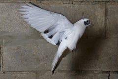 Почтовое летание голубя на фоне кирпичной стены Стоковая Фотография RF