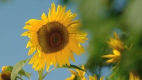 Пошатывать солнцецвета видеоматериал