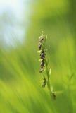 Появление редкой орхидеи мухы Стоковое фото RF
