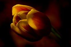 Появление тюльпана Стоковые Фото