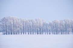 Пояс леса деревьев тополя под изморозью в поле снега в выигрыше стоковое фото rf