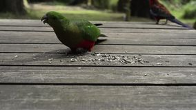 Подавать австралийских попугаев видеоматериал