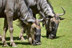 Подавать антилопы гну крупного плана голубой Стоковое Фото