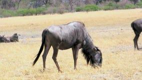 Подавать антилопы гну акции видеоматериалы