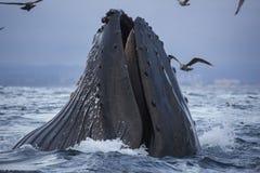 Подавать горбатого кита Стоковое фото RF