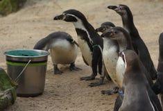 Подавать группы пингвина Humbolt Стоковое Фото