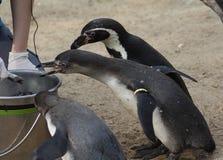 Подавать группы пингвина Humbolt Стоковые Изображения RF