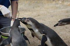 Подавать группы пингвина Humbolt Стоковое Изображение RF