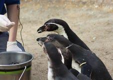 Подавать группы пингвина Humbolt Стоковые Изображения