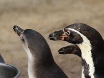 Подавать группы пингвина Humbolt Стоковые Фото