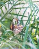 подавать ее детеныши мати hummingbird Стоковое Фото
