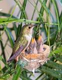 подавать ее детеныши мати hummingbird Стоковые Изображения