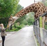 Подавать жирафа, парк Taigan сафари, Крым Стоковые Изображения