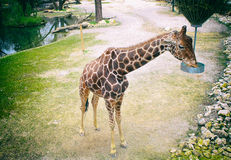 Подавать жирафа Стоковые Фото