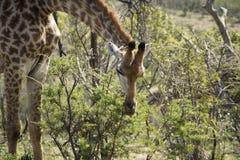Подавать жирафа Стоковая Фотография RF