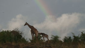 Подавать жирафов Masai видеоматериал