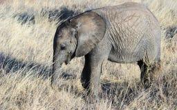 Подавать икры слона Стоковые Изображения