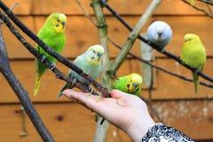 Подавать длиннохвостого попугая Стоковые Изображения RF