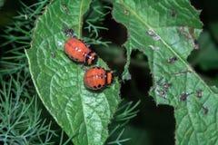 Подавать личинки жука Колорадо Стоковое Фото
