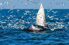 Подавать кита Bryde Стоковое Изображение