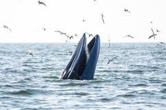 Подавать кита Bryde Стоковое Фото