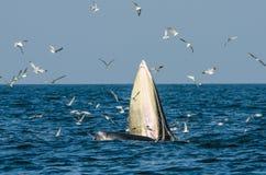 Подавать кита Bryde Стоковые Фотографии RF