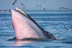 Подавать кита Bryde Стоковое Изображение RF
