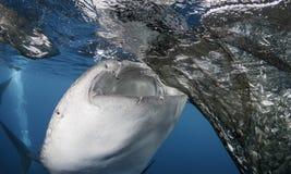 Подавать китовой акулы Стоковая Фотография