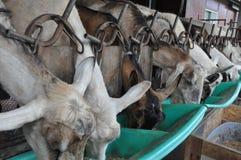 Подавать козы Стоковое Изображение
