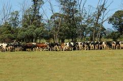 подавать коров Стоковые Изображения