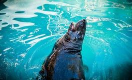 Подавать морсого льва Стоковое Изображение RF