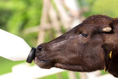 Подавать младенец буйвола murrah (индийского буйвола) от бутылки Стоковые Фотографии RF