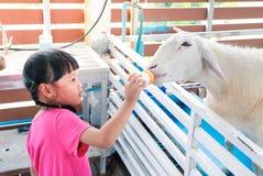 Подавать овец Стоковое Изображение RF