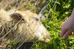 Подавать овца от его руки Стоковые Изображения RF