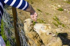 Подавать овца от его руки Стоковая Фотография